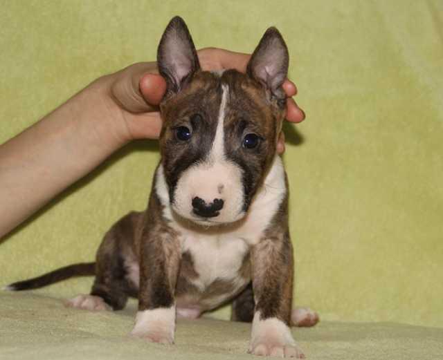 Продам Крошечные щенки миниатюрного бультерьера