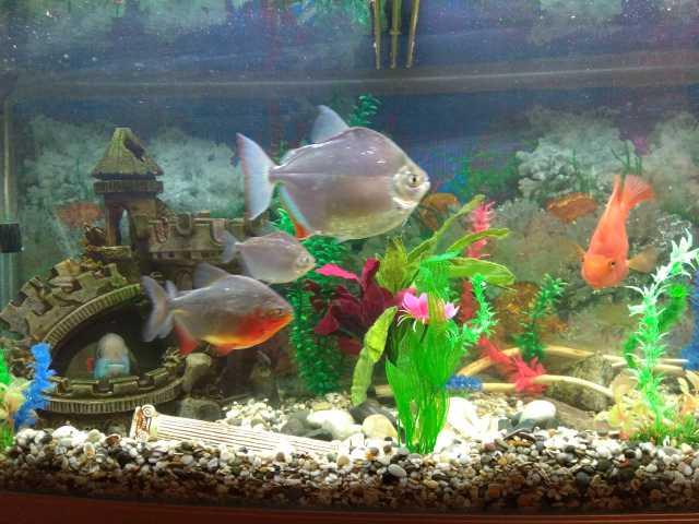 Продам аквариумные крупные рыбы и аквариум торг