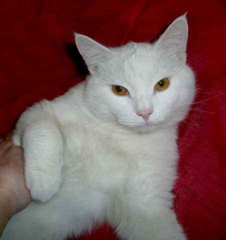 Продам: Кот жених экзотический Белый Британец вя