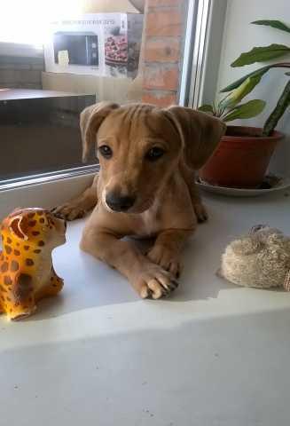 Продам щенок такса-метис