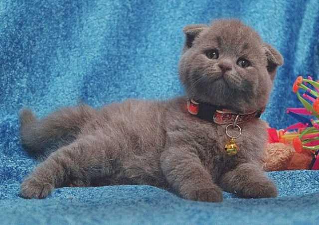 Отдам даром Котята британской кошки