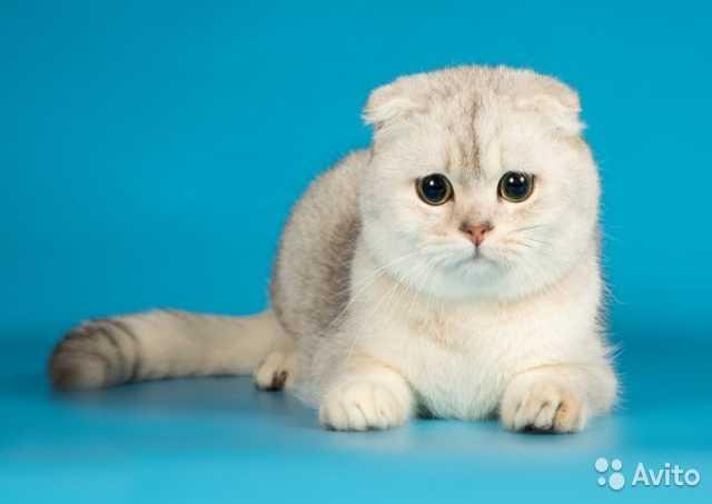 Продам Шотландский вислоухий кот вязка