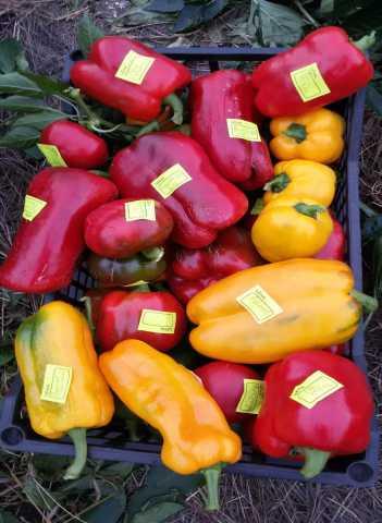 Продам: Рассаду сладкого перца редких и урожайны