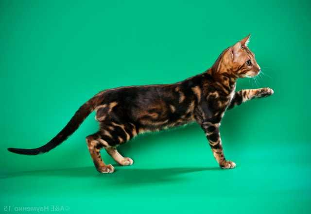Продам: Бенгальский котенок