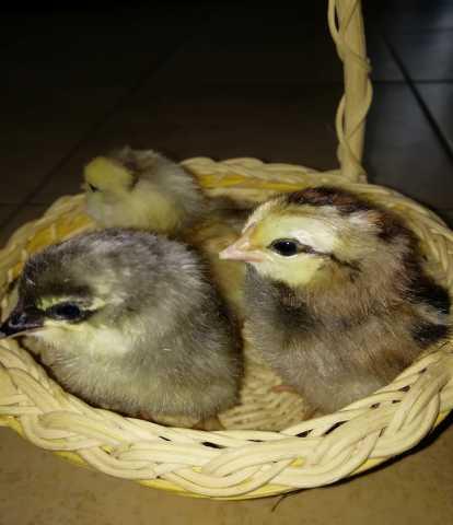 Продам Цыплята породы Амераукана