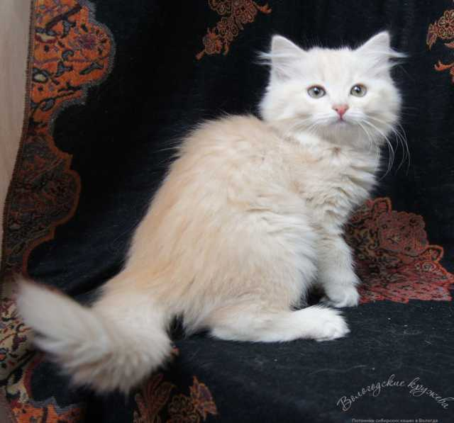 Продам Сибирские котята