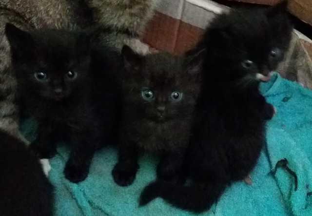 Отдам даром чёрные котята