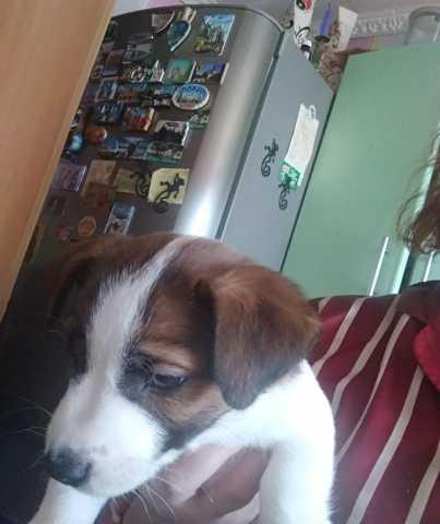 Продам Породистые щенки породы Джек Рассел