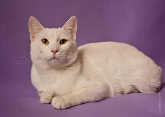 Отдам даром Ищет дом белоснежный интеллигентный кот