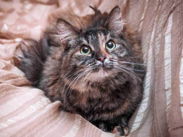 Отдам даром Ласковая пушистая сибирская кошка Шуша