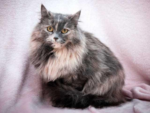 Отдам даром Милая уютная пушистая кошка Тиффани