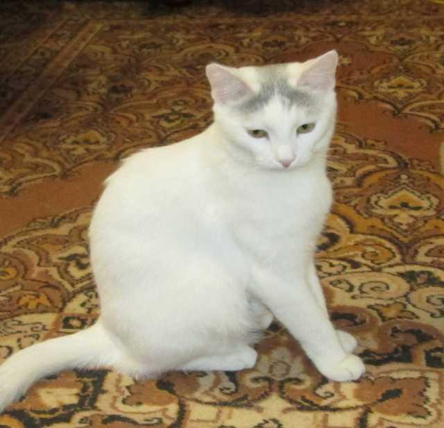 Отдам даром Нежная красавица в белой шубке ищет дом.