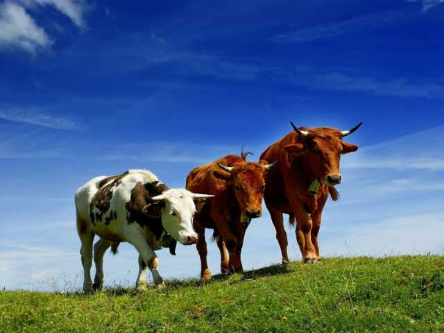 Куплю Крупный рогатый скот