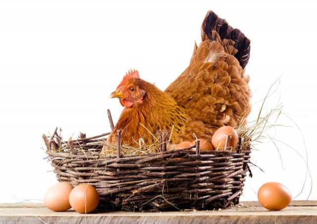 Продам Курицы-несушки