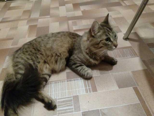 Продам Сибирская кошка