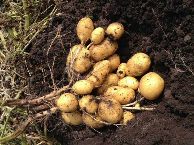Продам Семенной картофель элитных сортов