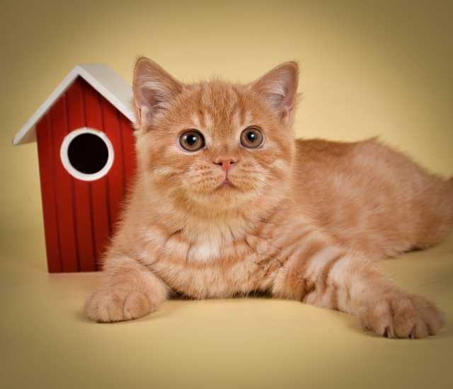 Продам: Британские котята от Чемпиона мира