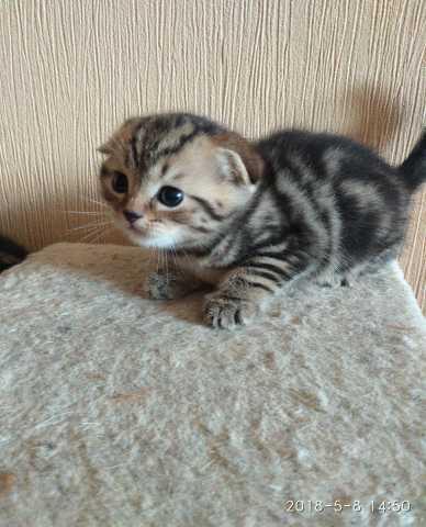 Продам Шотландские котята из питомника