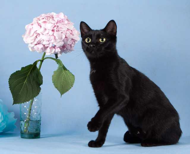 Отдам даром Роскошная черная кошечка Матильда!