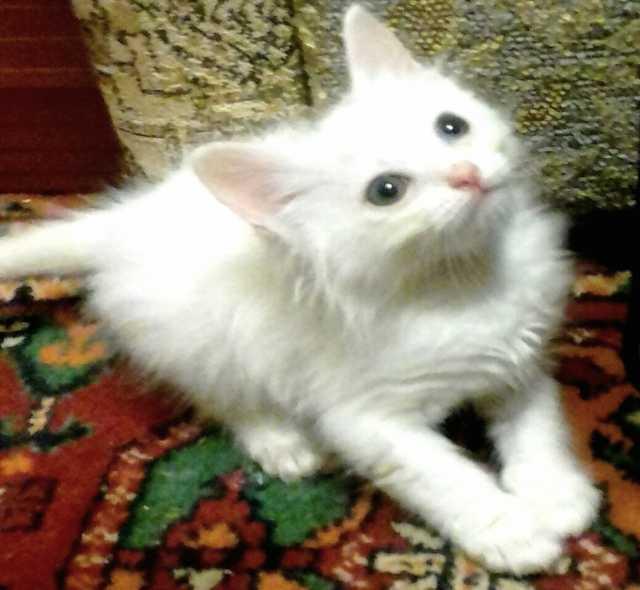Отдам даром Белые котята