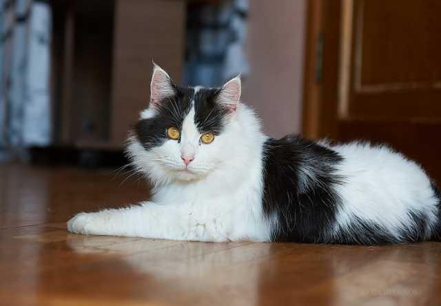 Отдам даром Роскошный кот Лесик в дар
