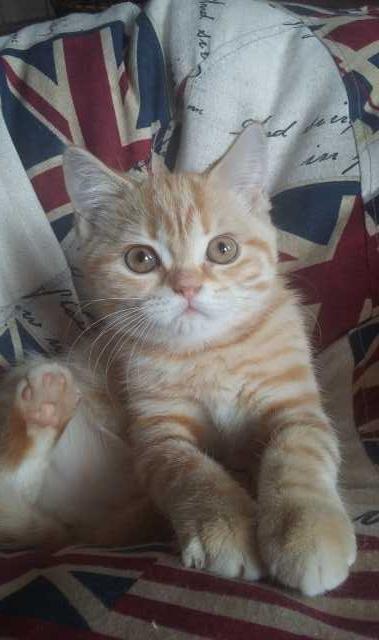 Продам Британский котята