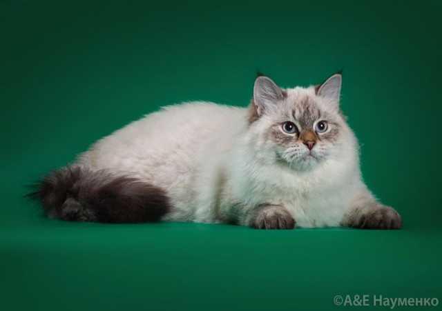 Продам Невский маскарадный котик