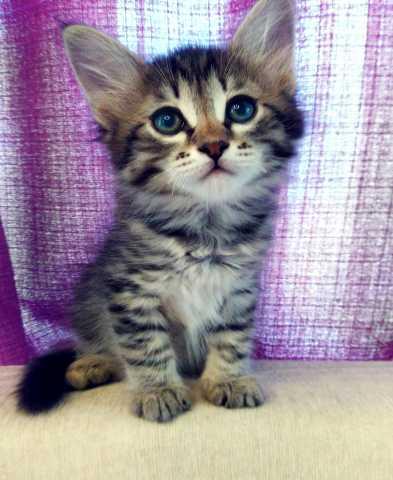 Продам Котята Европейской кошки
