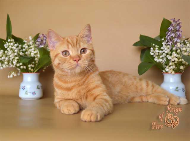 Продам Британский котик красного (рыжего) окрас