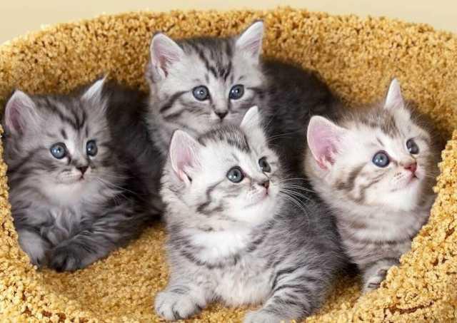 Продам Британские котята 1 месяц с документами