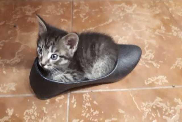 Продам Полупородистые котята