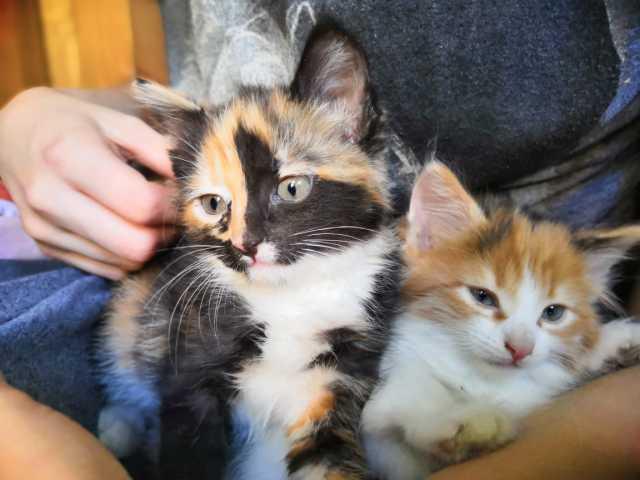Отдам даром котята Аглая, Аришка и Касик