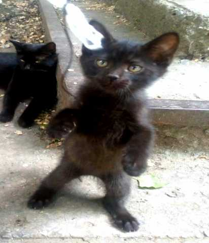 Отдам даром Бархатные черные котята