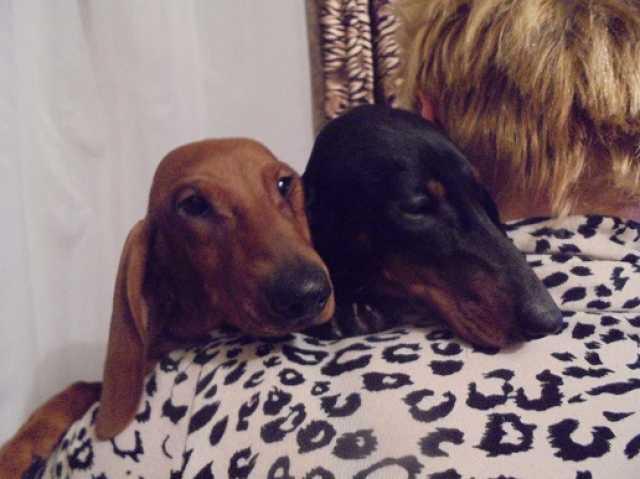 Продам молодые собаки породы такса продаются