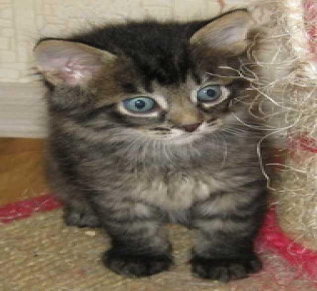 Отдам даром: сибирская кошечка