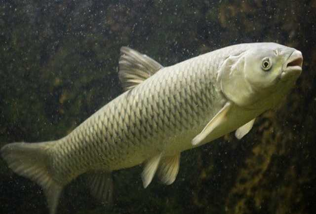 Продам Белый амур - полезная рыба для пруда
