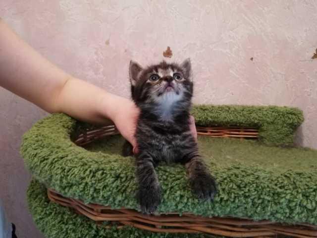 Продам Серые полосатые котята- мальчик и девочк