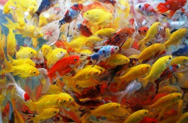 Продам Цветной зимующий карась в пруд