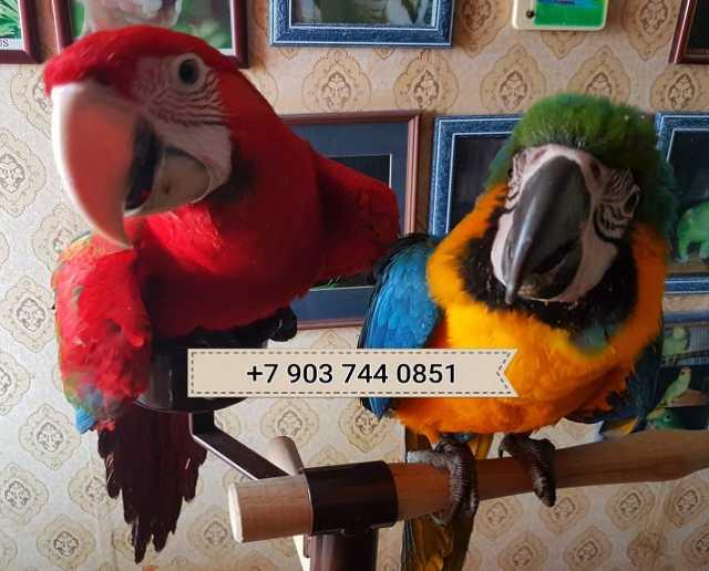 Продам Попугаи - ручные птенцы из питомников Ев