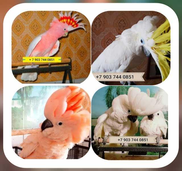 Продам Попугаи какаду - ручные птенцы