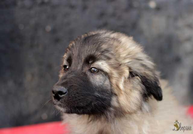 Отдам даром Интересный щеночек Птич  ищет любящих хо