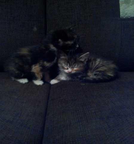 Отдам даром 2 котенка обе девочки.