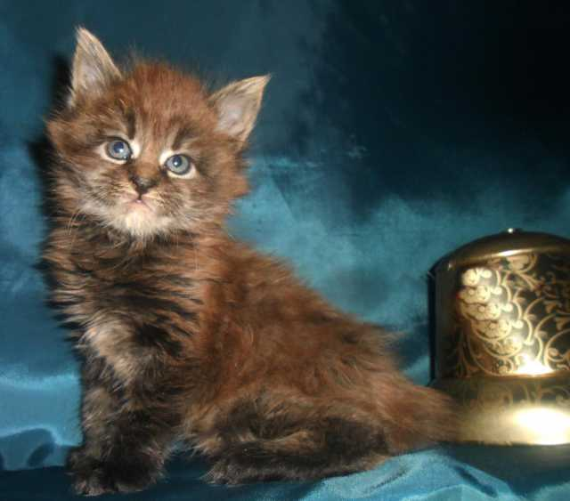 Продам Породистые котята мейн кун