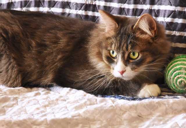Отдам даром Замечательный пушистый кот Кузя ищет дом