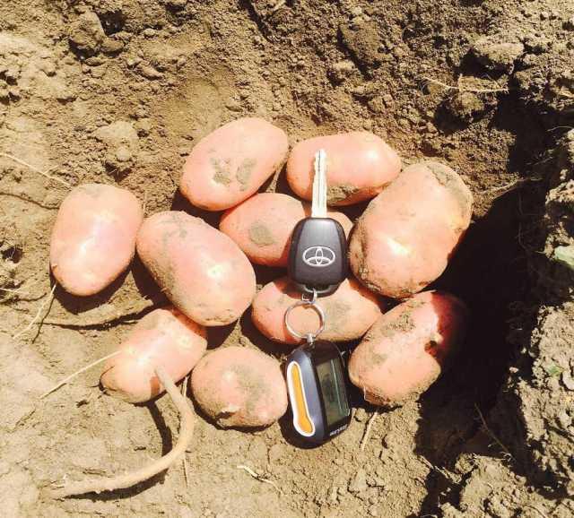 Куплю КФХ реализует молодой картофель оптом