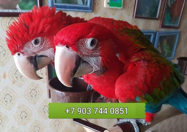 Продам Зеленокрылый ара - ручные птенцы