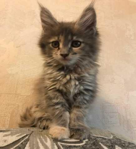 Продам Котята Мейн-Кун