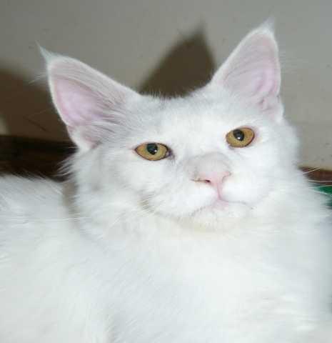 Продам Белый котик мейн кун 7 мес