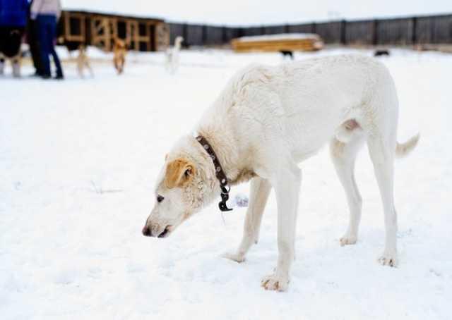 Отдам даром Собака Лаки- крупный, умный ,послушный