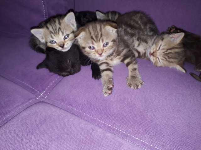Продам Шотландские котята
